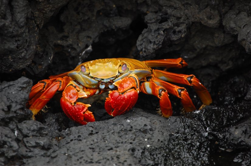 Grapsus_grapsus_Galapagos_Islands.jpg